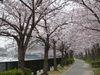 大川桜2009_1.jpg