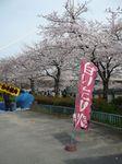 大川桜2009_9.jpg