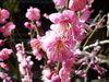 大盆梅展2009_5.jpg